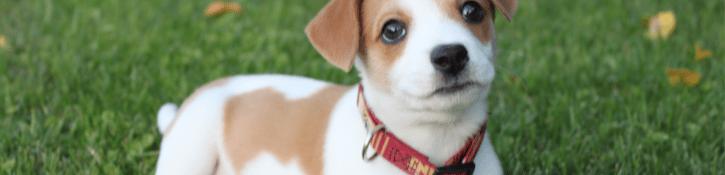 vlooienband bij hond